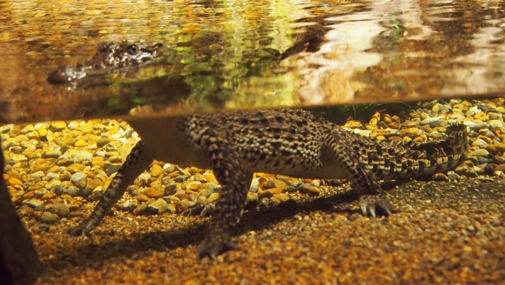 Er zijn ook echte krokodillen. Gelukkig veilig achter glas.