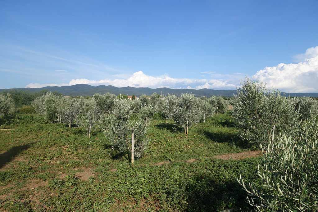 Zicht op de olijfbomen bij de camping.