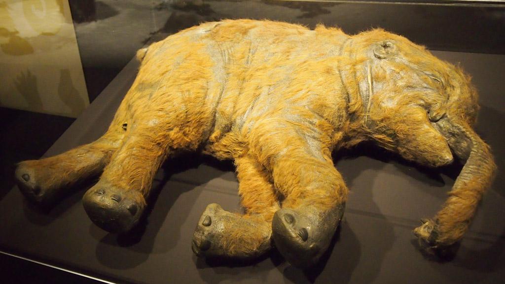 Replica van een baby mammoet die echt zo goed geconserveerd is gevonden.