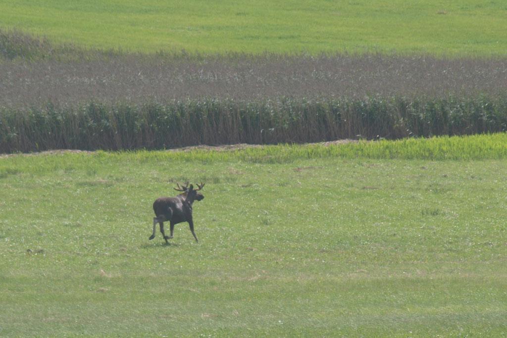Elanden... zelfs aan de Zweedse kust kunnen ze zomaar de weg op rennen. Met deze joekel ging het net goed.