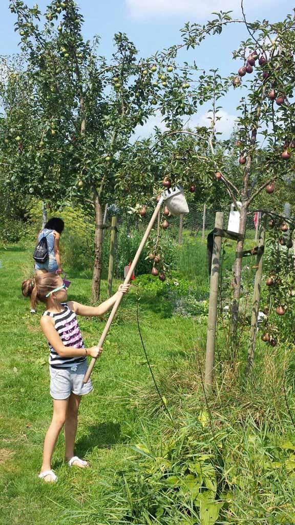 Appels plukken met een handige appelplukker.