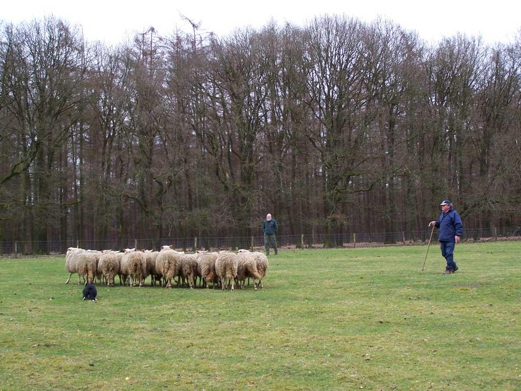 Demonstratie schapen drijven.