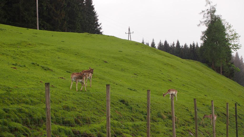 Hertjes in de wei naast het Gasthof.