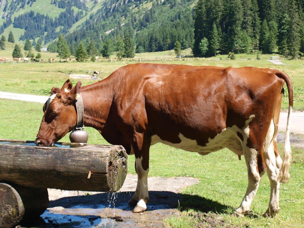 Niet alleen wij waren toe aan een pauze. Ook deze koe had dorst.