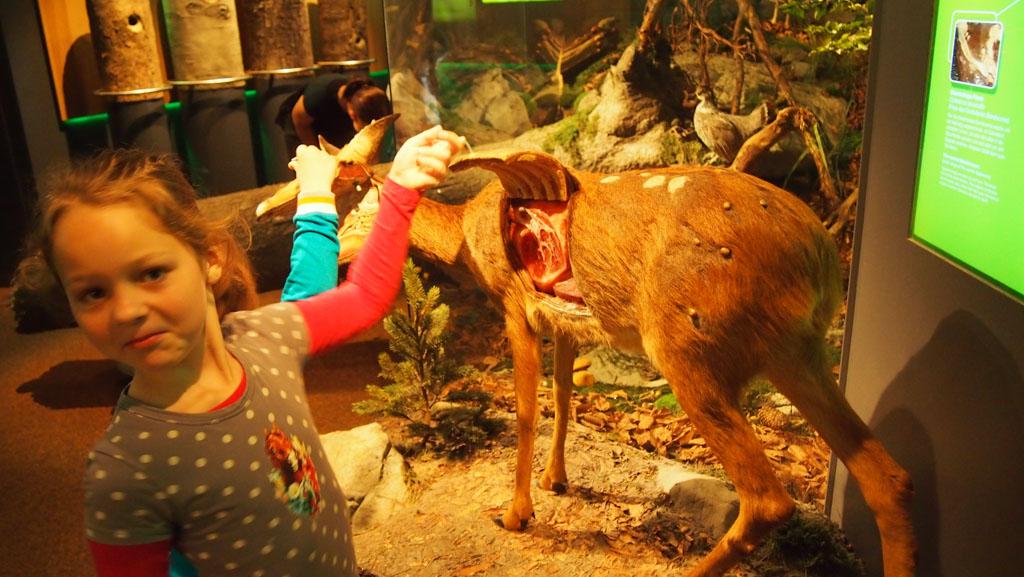 Zelfs opgezette dieren kunnen interactief zijn... Eventjes gluren hoe een ree er van binnen uit ziet.