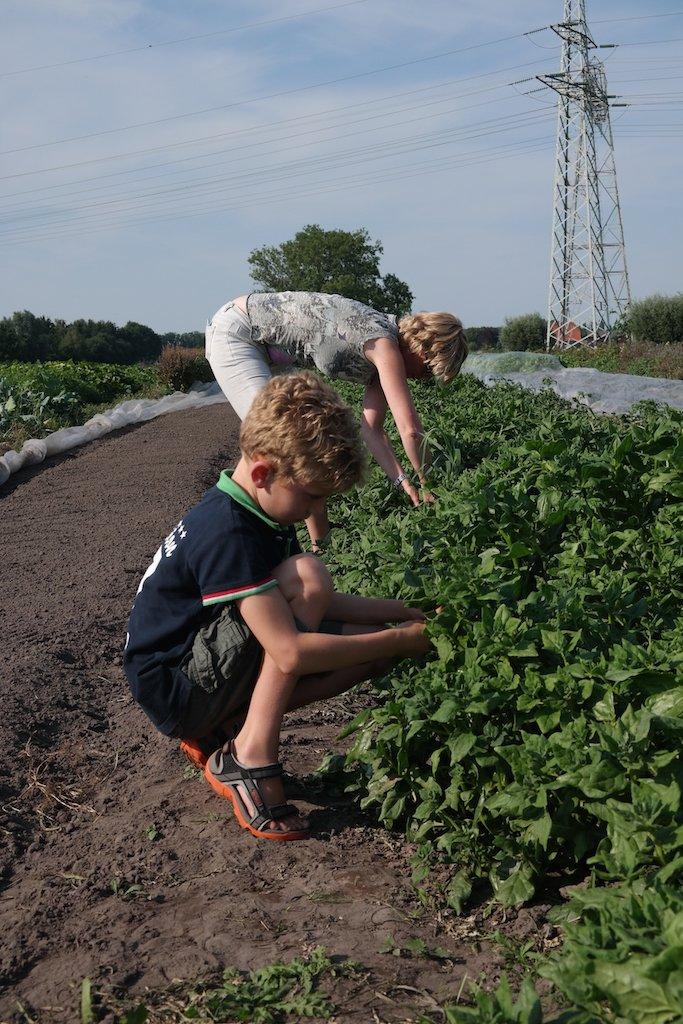 Samen met de kinderen spinazie oogsten.