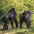 Kijken bij de gorilla's. Na het voederen lopen ze weg en zien we dit kleintje op de rug zitten.