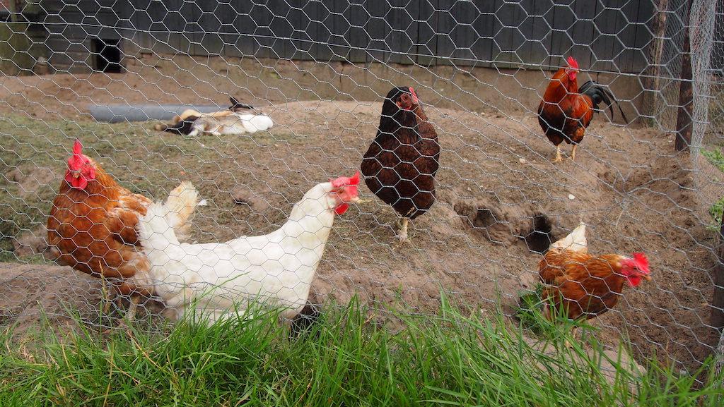 We kregen een doosje met verse eieren van deze kippen.
