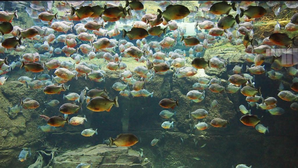 Piranha's!