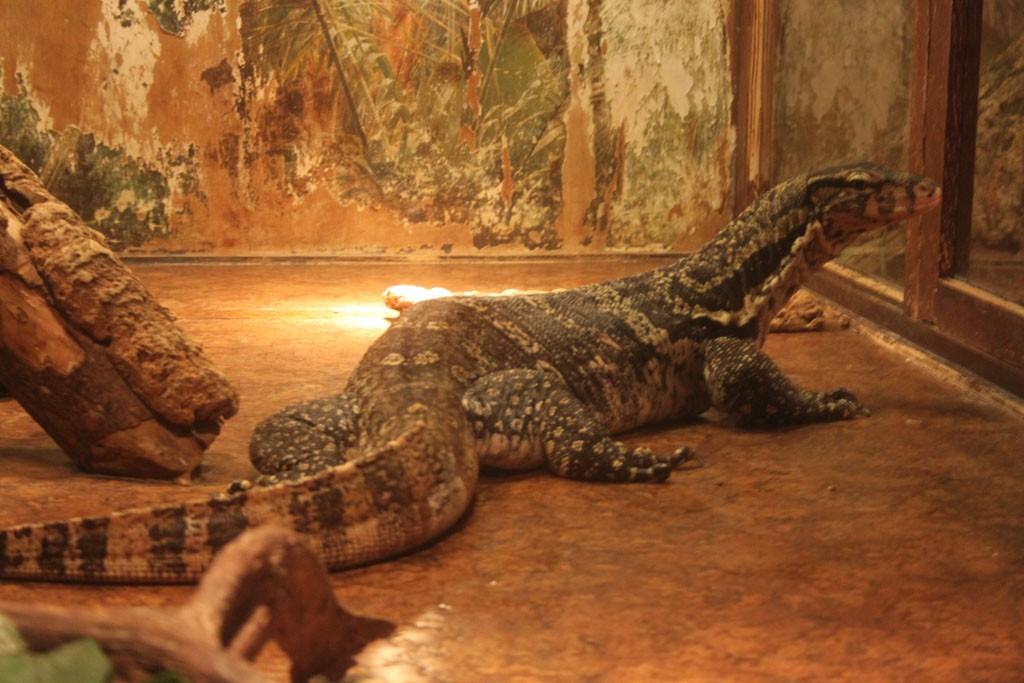 Kleine en grote reptielen in Iguana.