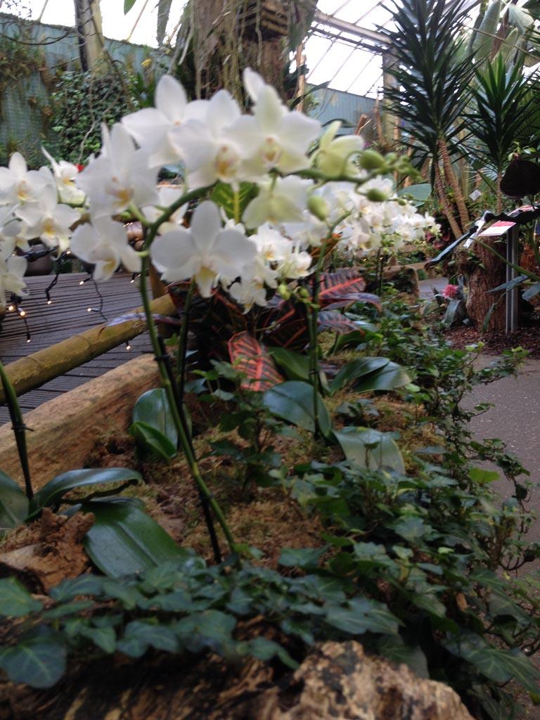 Echte orchideeën.