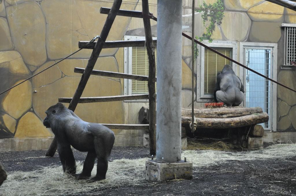 De indrukwekkend grote Gorilla's.
