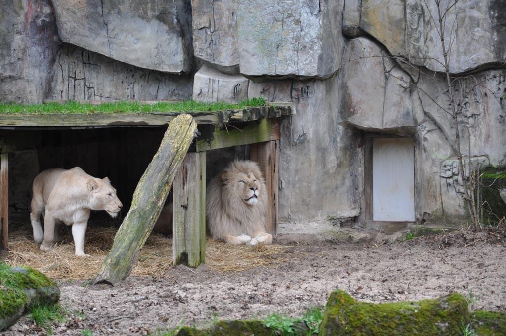 Prachtige witte leeuwen.