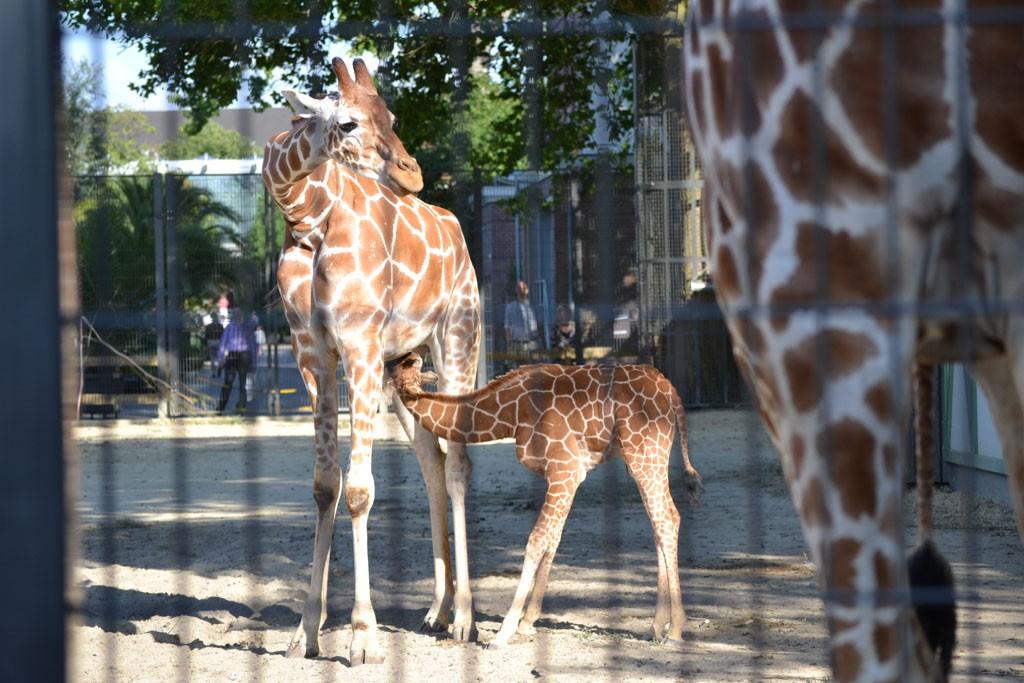Giraffe met een kleintje.