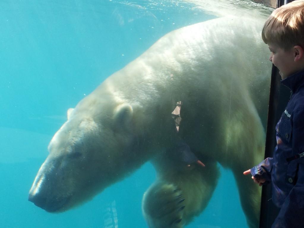 Echte ijsberen zien zwemmen, dat kan in Blijdorp.