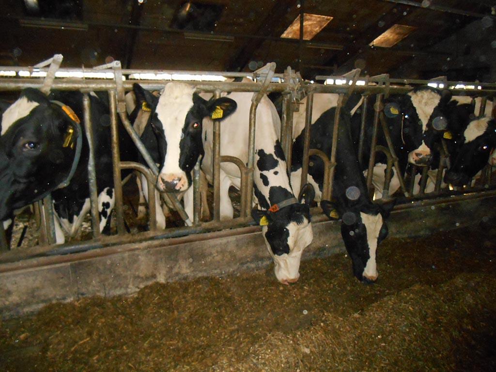De koeien.