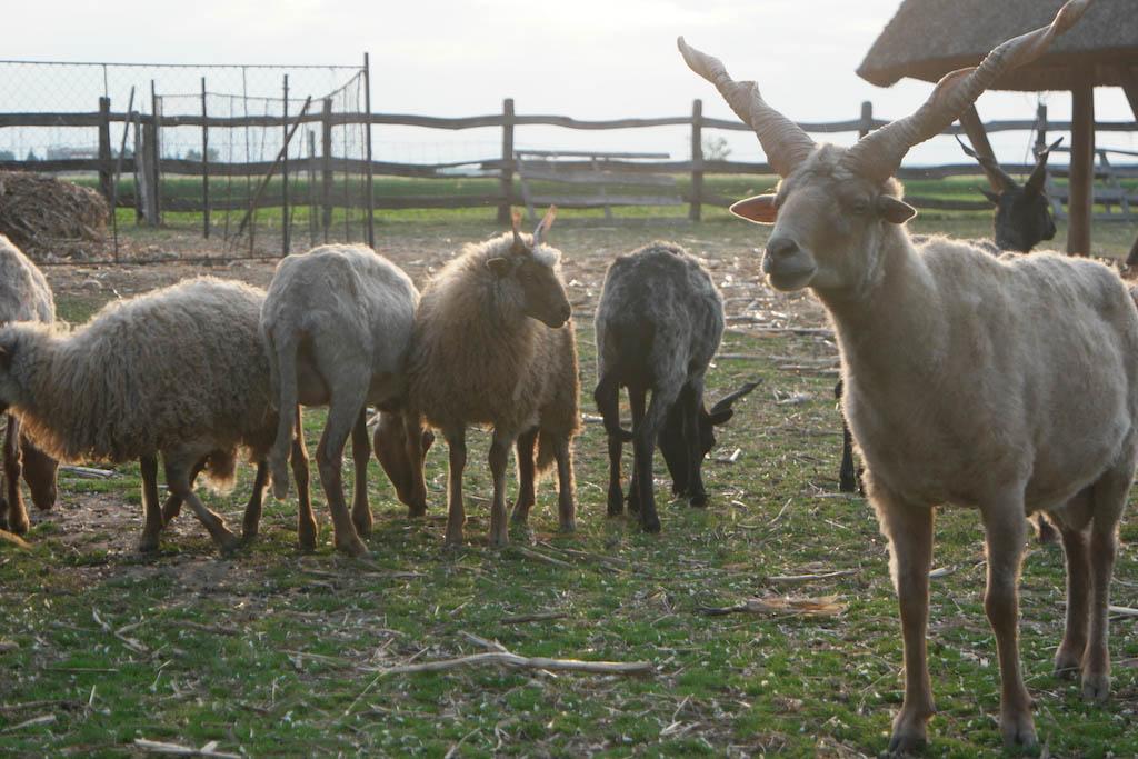 Hongaarse schapen met gedraaide horens.