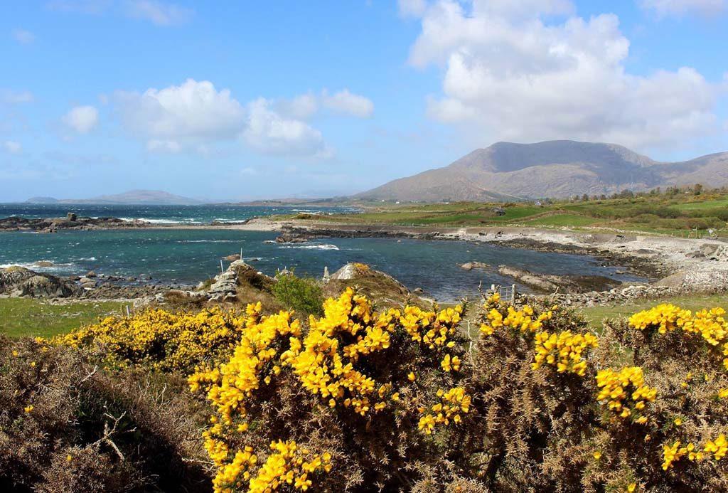 De gele brem is ook kenmerkend voor het Ierse landschap.