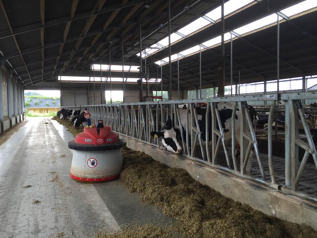 De robot veegt het voer naar de koeien.