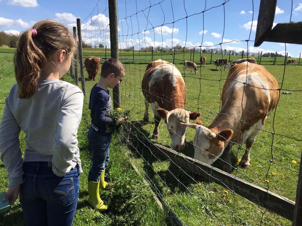 De koeien voeren met vers gras.