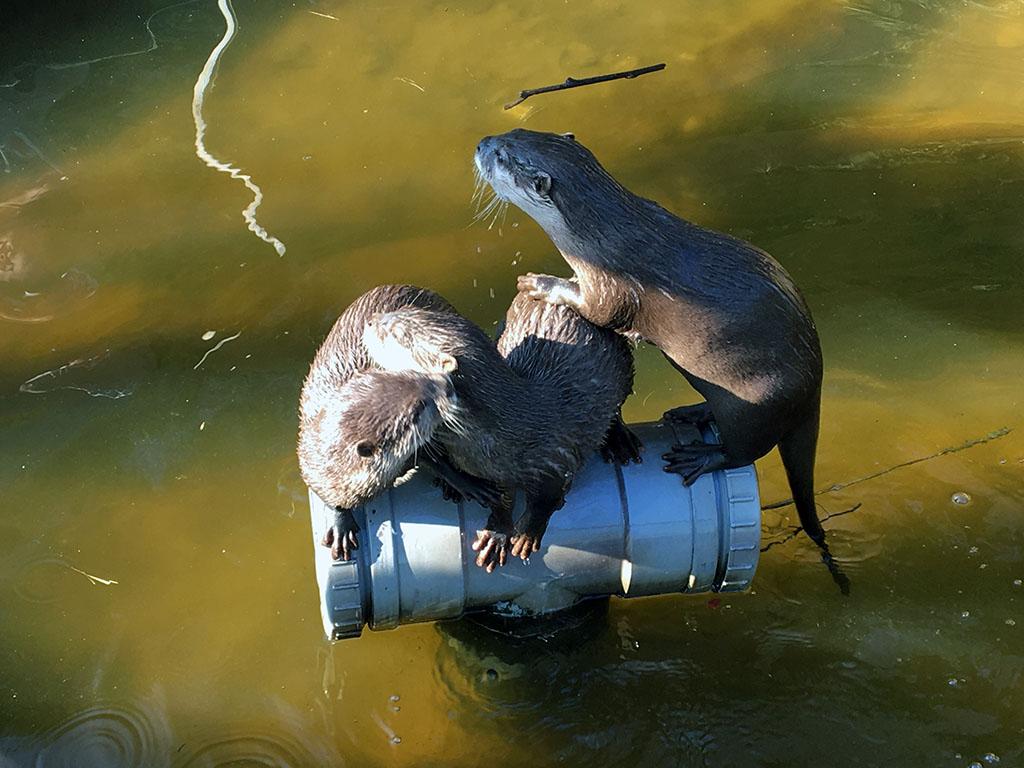 De otters halen allerlei kunstjes uit.