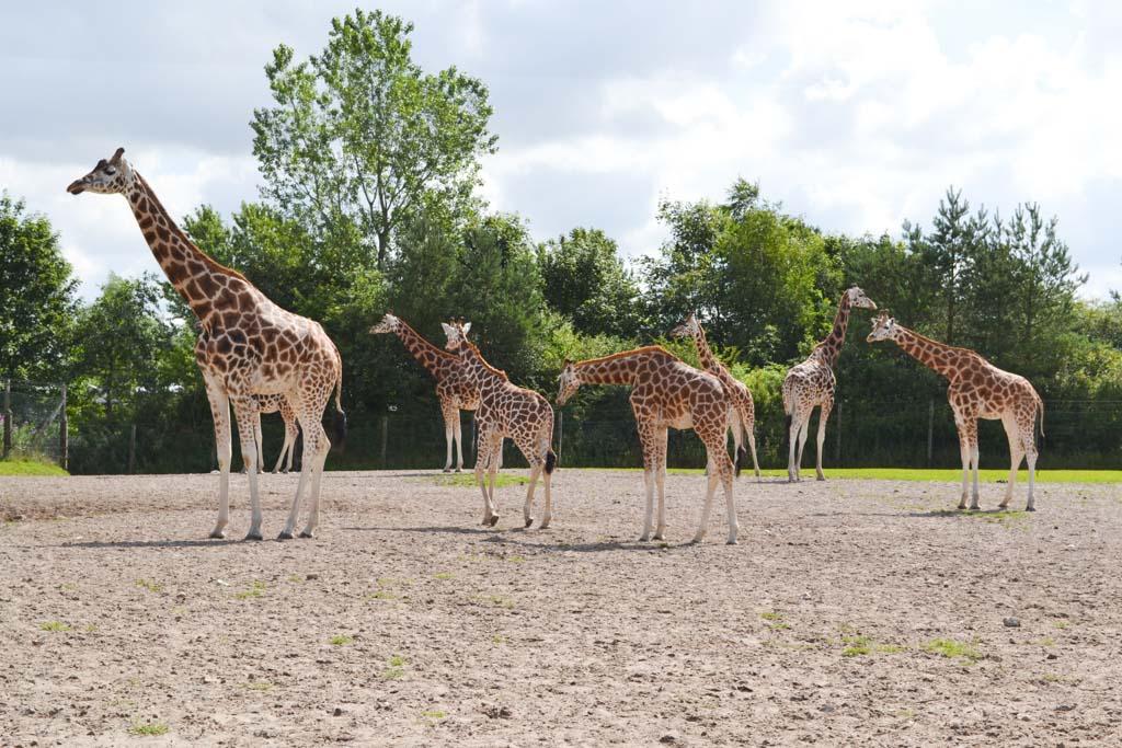 De giraffen.