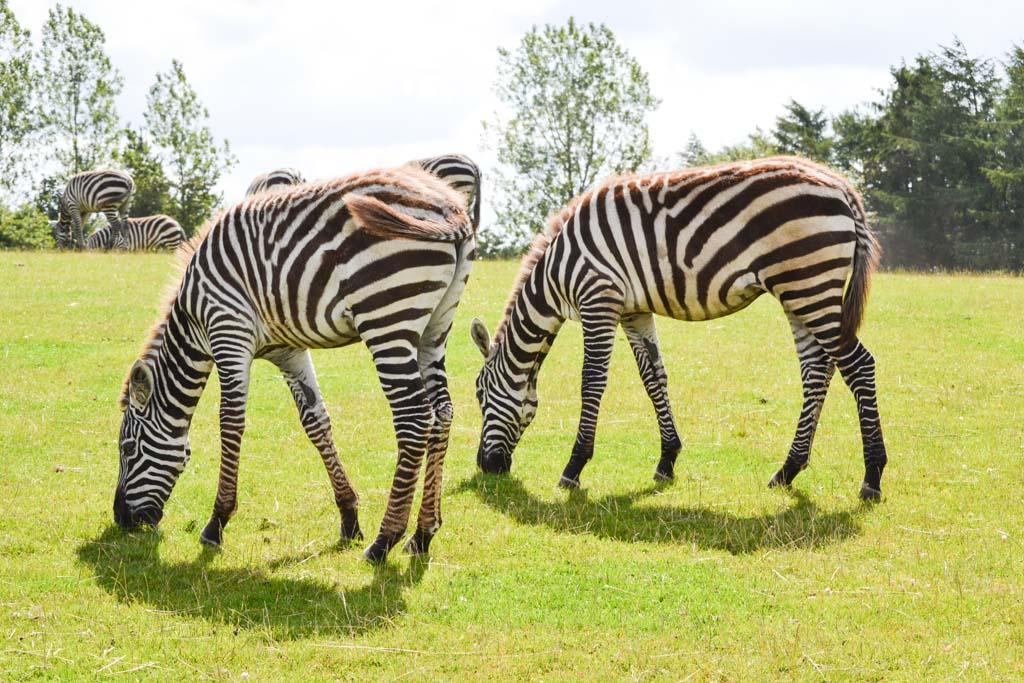 We komen heel dichtbij de zebra's. Moeten er zelfs voor wachten!