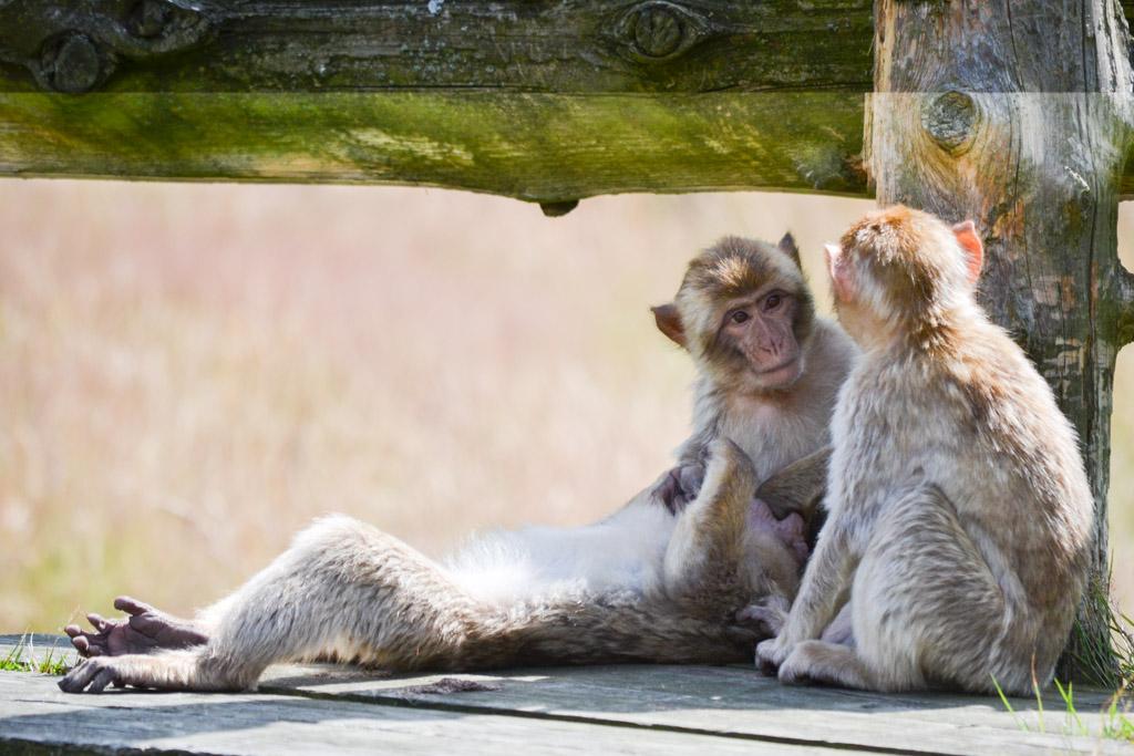 We lopen tussen de apen.