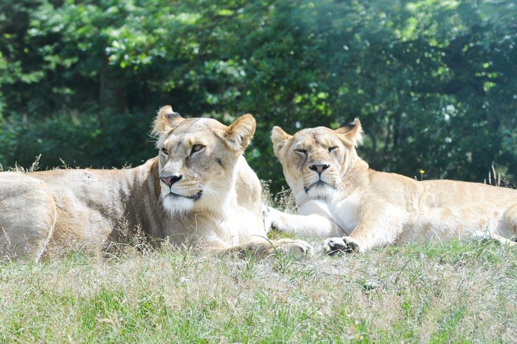 Best spannend om zo dichtbij de leeuwen te komen.