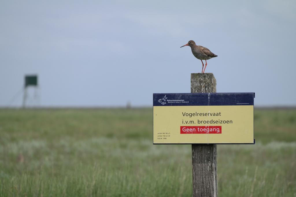 Schiermonnikoog is een groot vogelreservaat. Op de paal staat een tureluur.