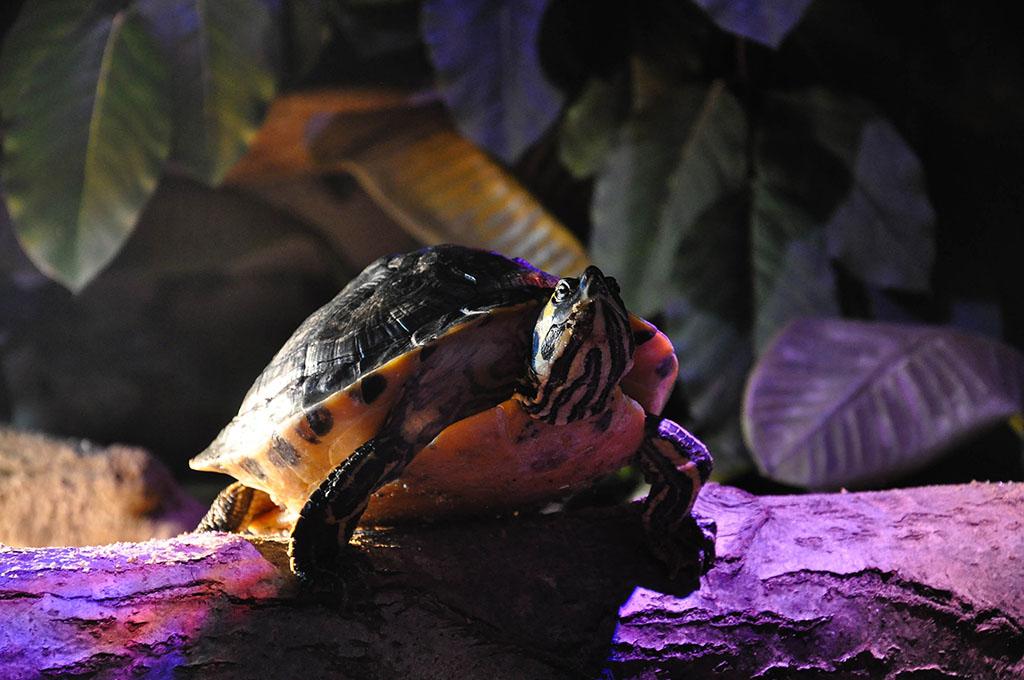 De beroemde plons schildpad.
