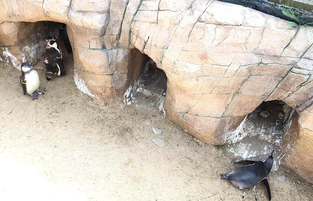Het is veel te warm buiten voor de pinguïns.