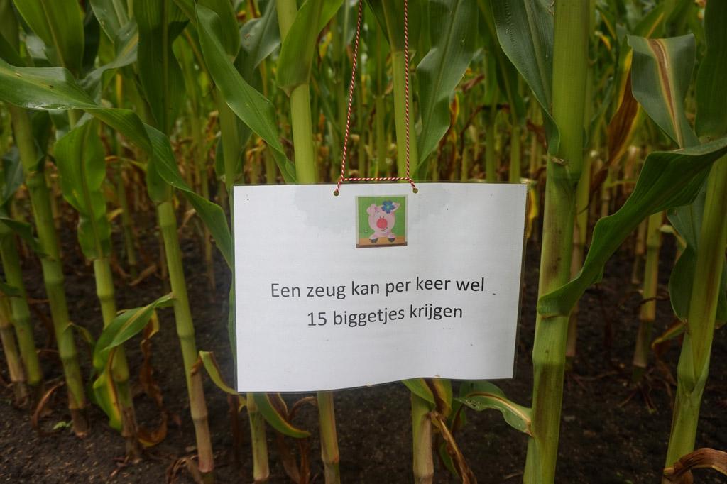 We leren in het maïsdoolhof van alles over varkentjes