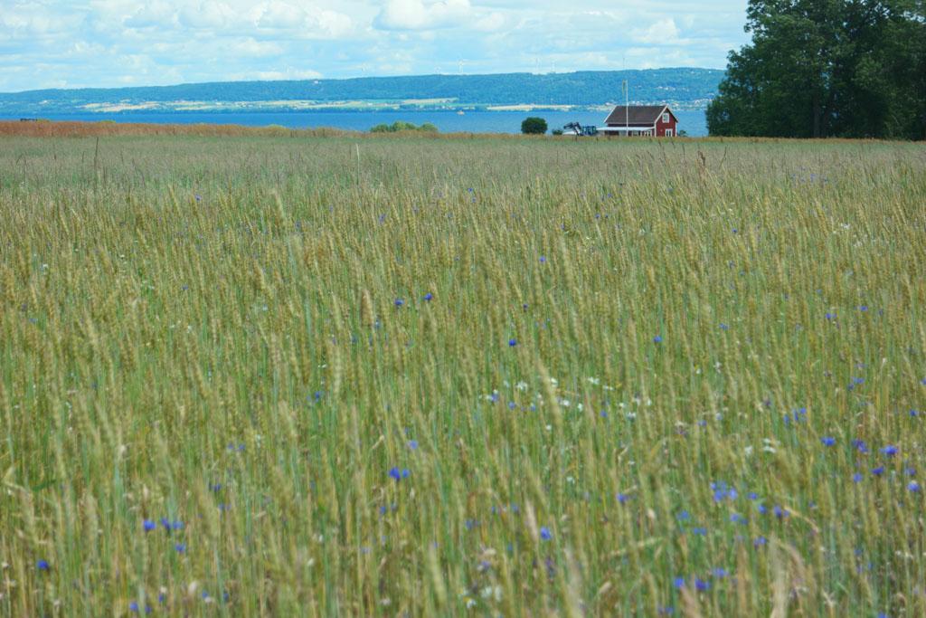 Glooiende velden met typisch rood witte Zweedse huisjes.