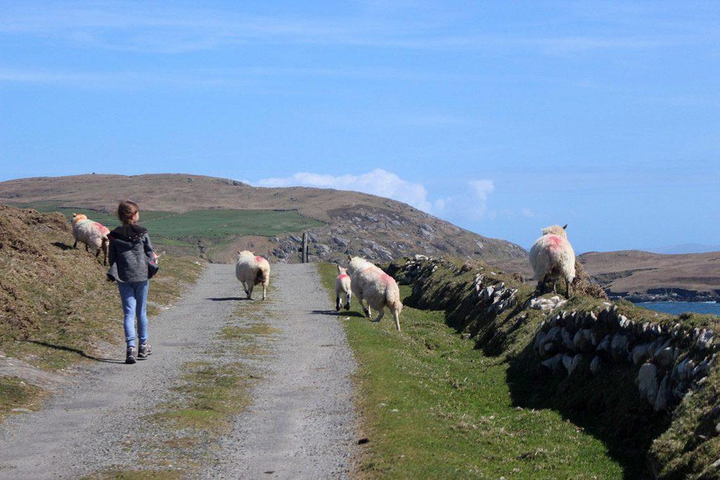 Er zijn veel meer schapen dan mensen op dit eiland.