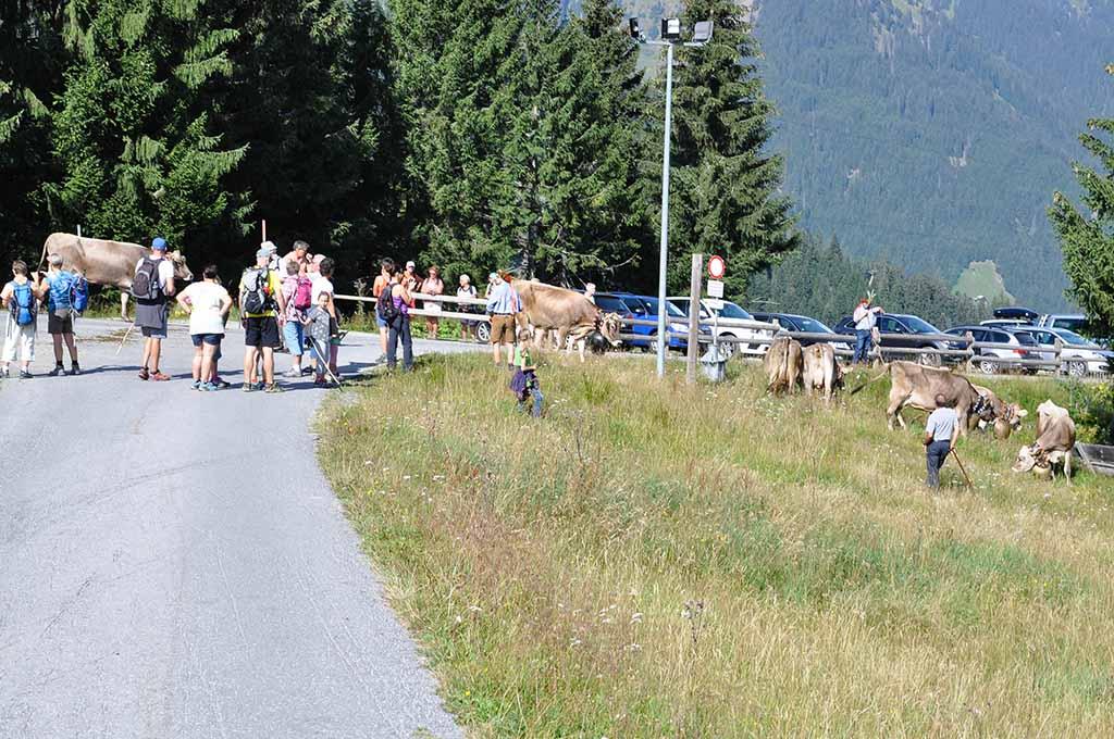 We zien de koeien in de verte al door het publiek heen lopen.