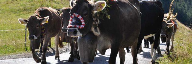 Samen met de koeien de berg aflopen tijdens de Alpabtrieb in Oostenrijk