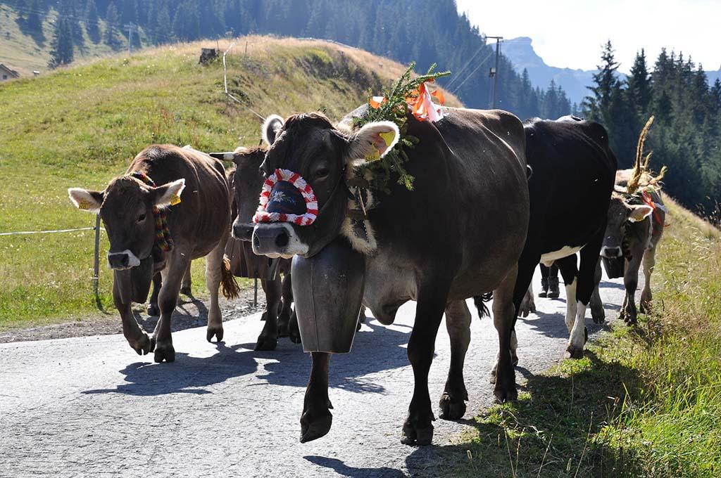De koeien zijn versierd met alpengroen, bloemen en linten.
