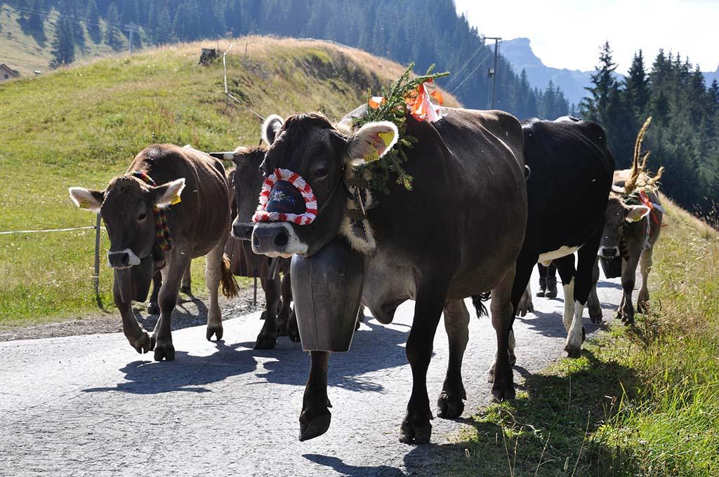 Prachtig versierde koeien bekijken tijdens de Alpabtrieb.