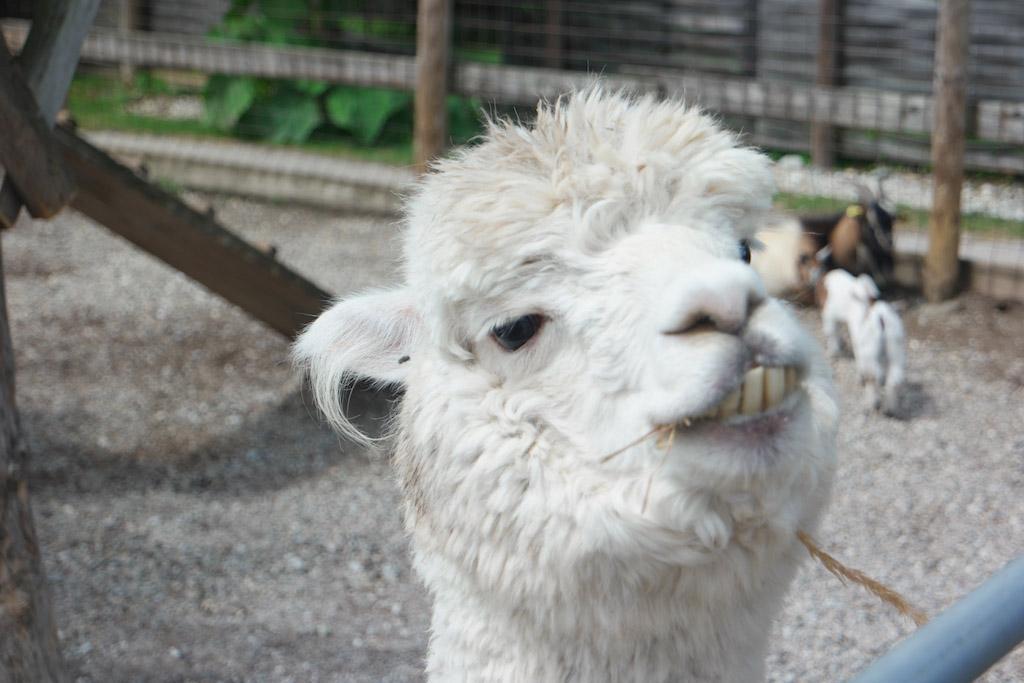 Alpaca's, ik vind ze leuk.