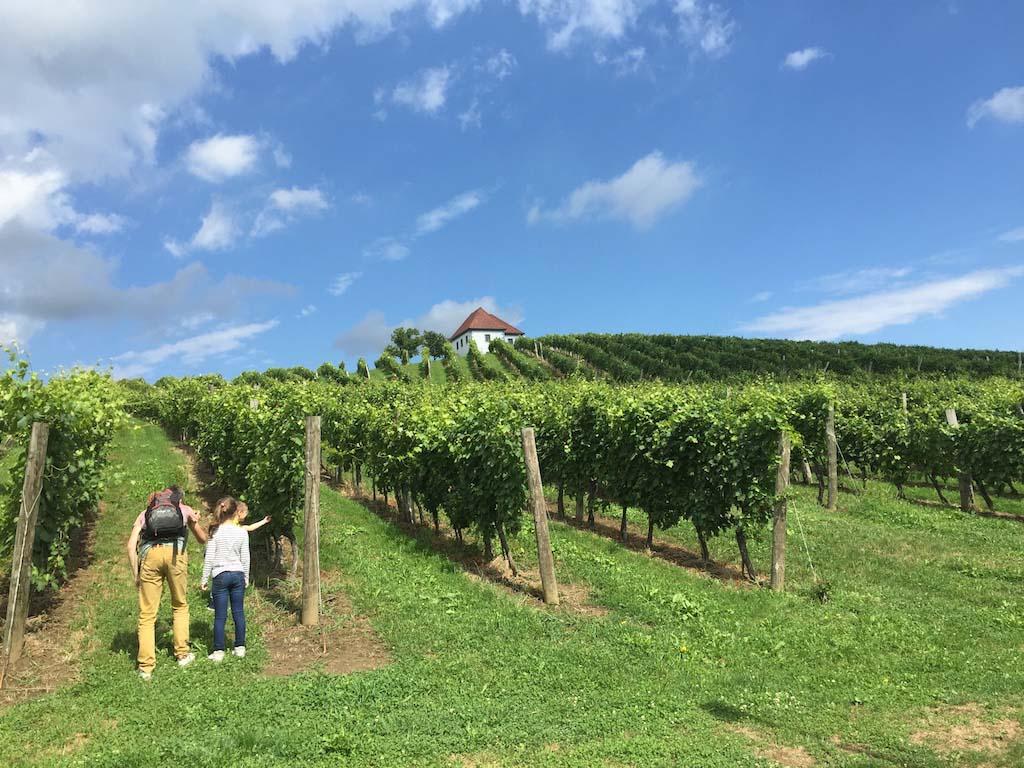 De wijnranken op de heuvels bij Slovenske Konjice.