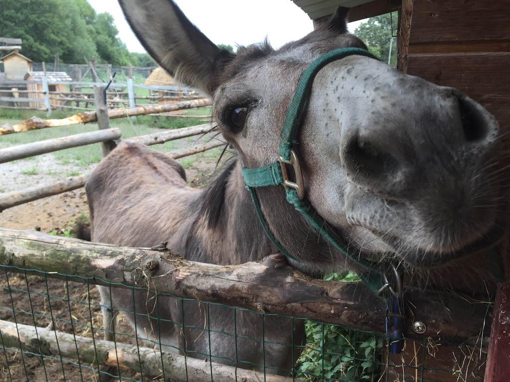 Naast de paarden zijn er ook ezels, waaronder dit nieuwsgierige exemplaar.