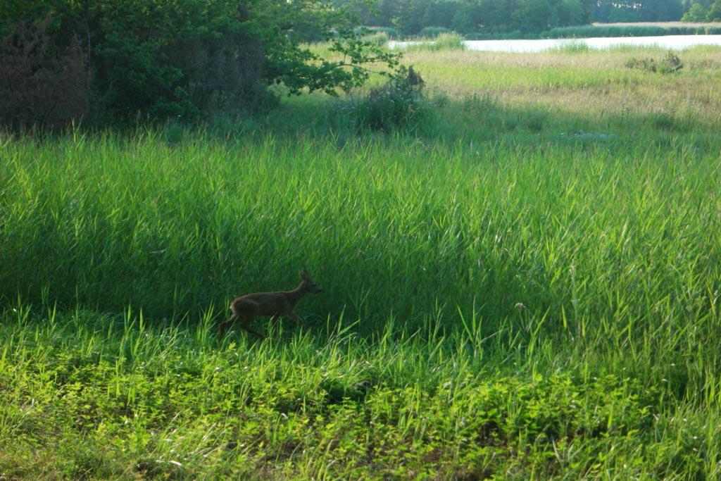 Vanuit onze stuga zien we zomaar een hertje voorbij lopen.