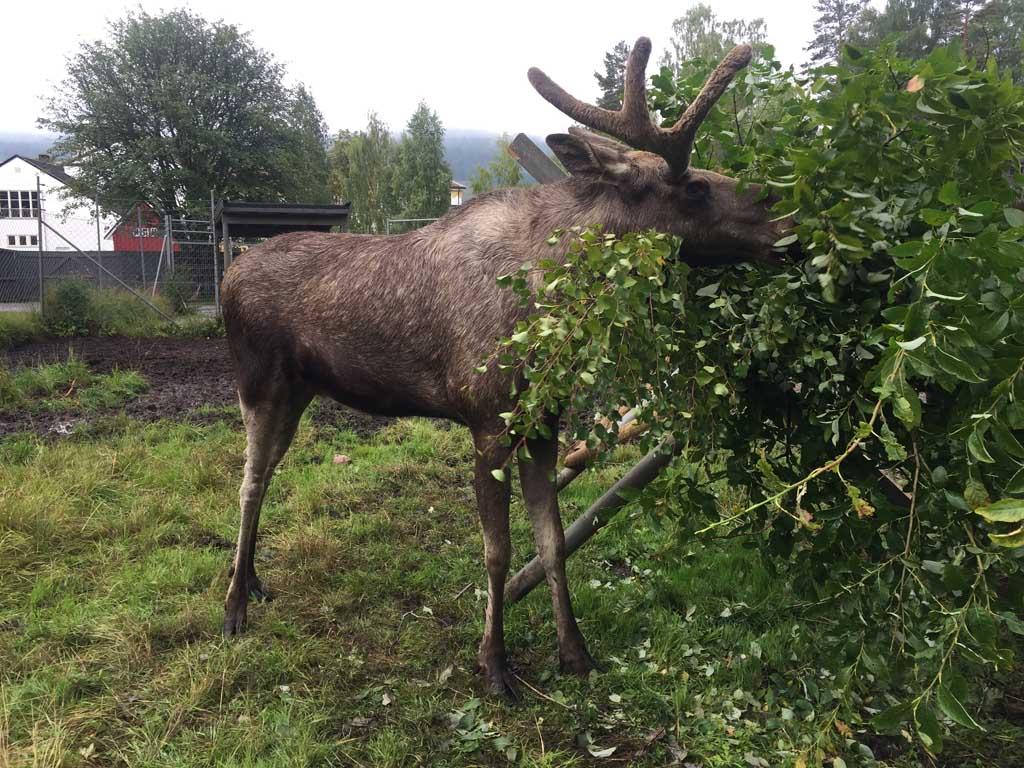 Eland Orvar geniet van de bladeren in Elgtun.