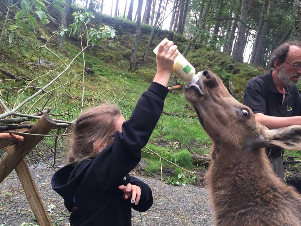 Roos geeft een drie maanden oud elanden kalfje de fles in Elgtun.