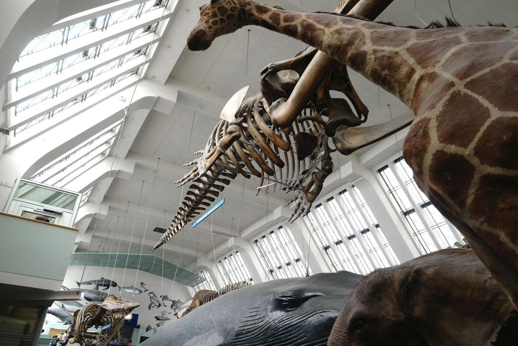 Een grote ruimte vol met de grootste opgezette dieren en een gigantisch skelet.