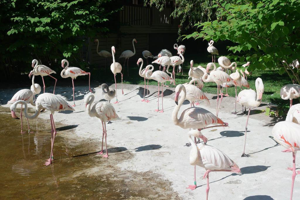 De flamingo's.