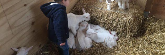 Geitenboerderij Geertjes Hoeve in Haarzuilens