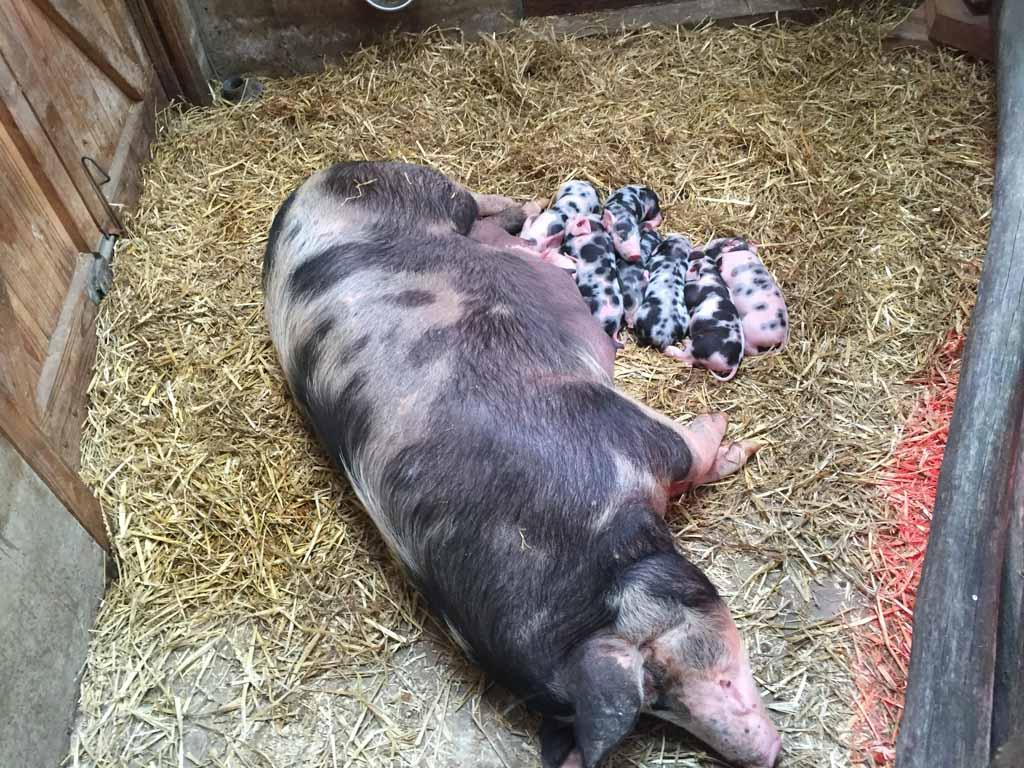 En een heel groot varken met hele lieve kleine pasgeboren biggetjes!