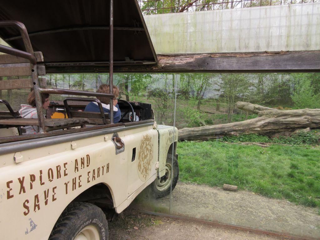 Deze jeep is voor de helft het leeuwenverblijf ingereden